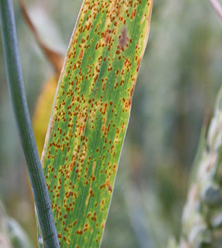 Leaf Rust on wheat