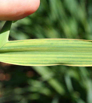 Wheat Soilborne Mosaic Virus
