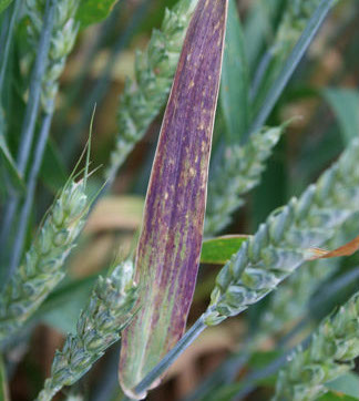 Barley Yellow Dwarf Virus