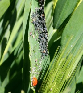 Lady Bird Beetle Feeding on Aphids