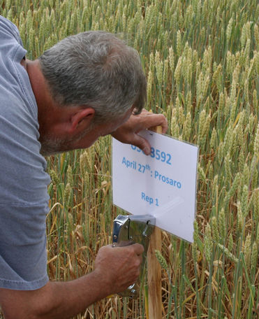 Researcher posting sign in wheat trial plot