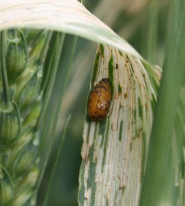 Cereal Leaf Beetle Larva