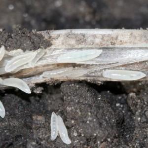 Hessian Fly Maggots