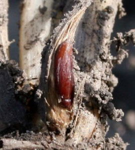 Hessian Fly Pupa