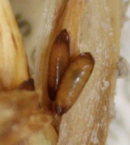 Hessian Fly Pupae