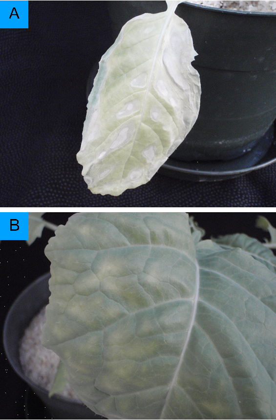 Sunken regions on leaf as a result of potassium deficiency