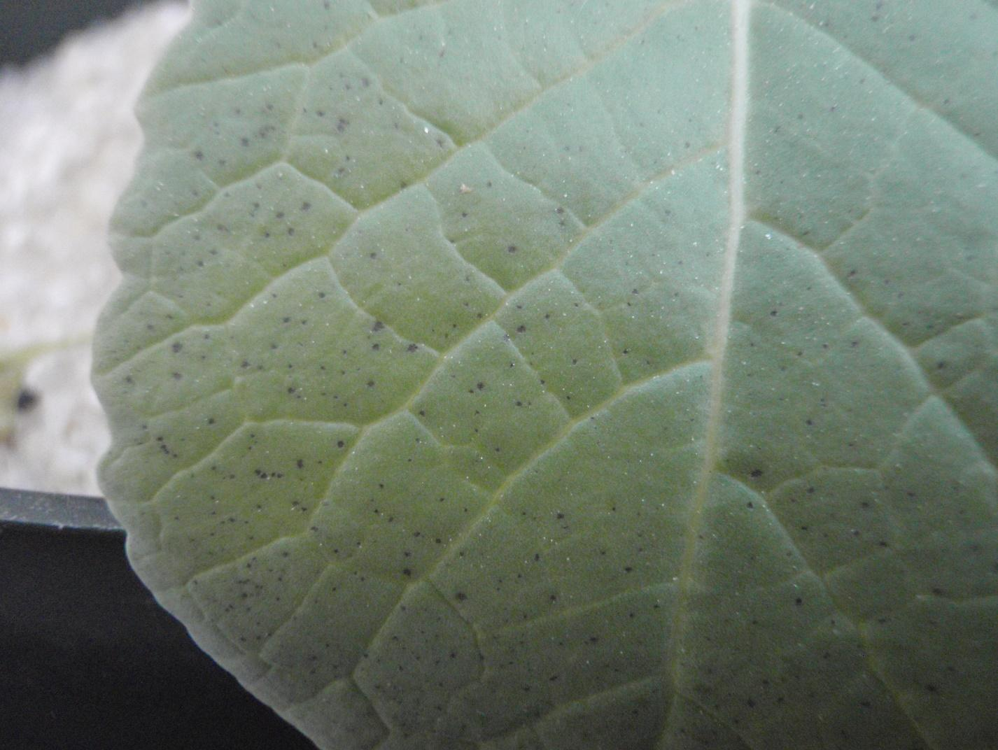 small, circular to angular black spots appeared on the lower foliage and were randomly distributed over the leaf surface. This was a unique symptom seen in carinata and will aid in the identification of phosphorus deficiency.