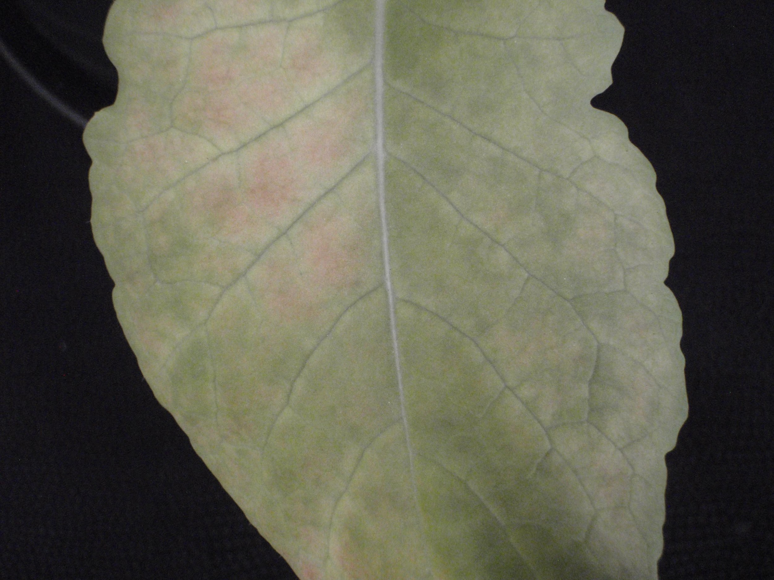 Purpling of leaf surface