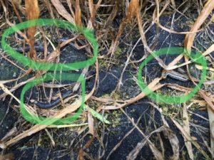 True armyworm larvae image